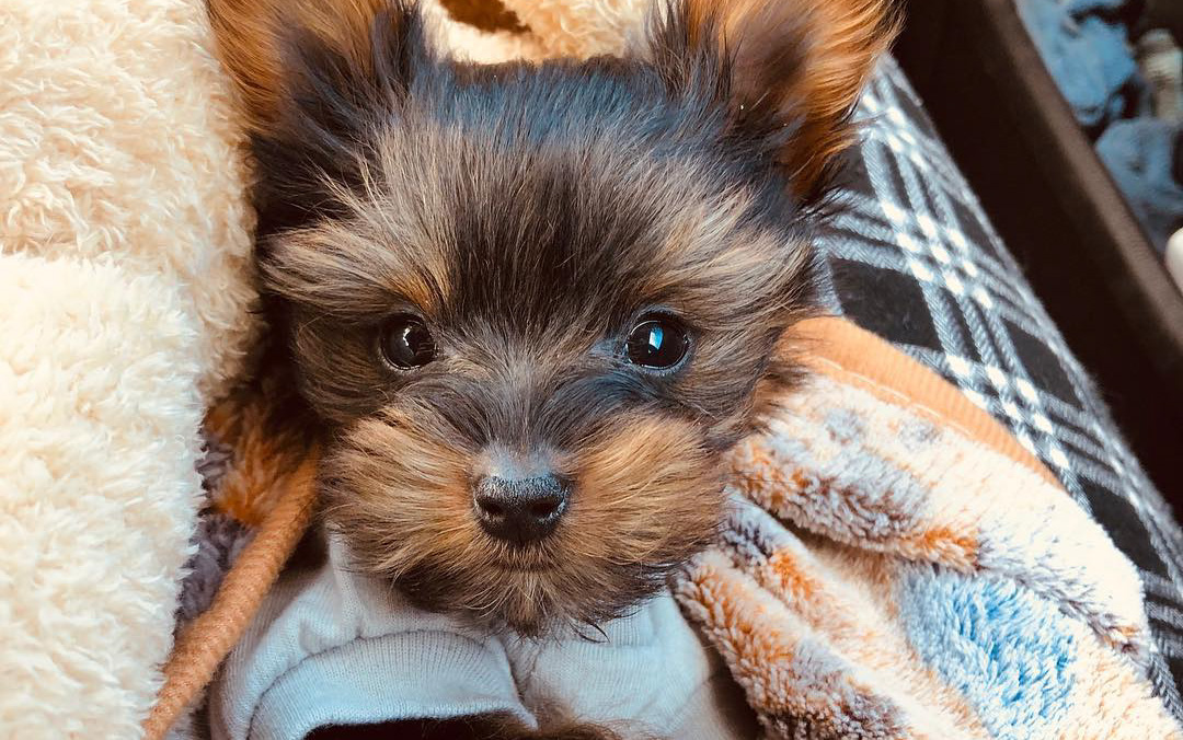 How Much Do Teacup Yorkies Cost?
