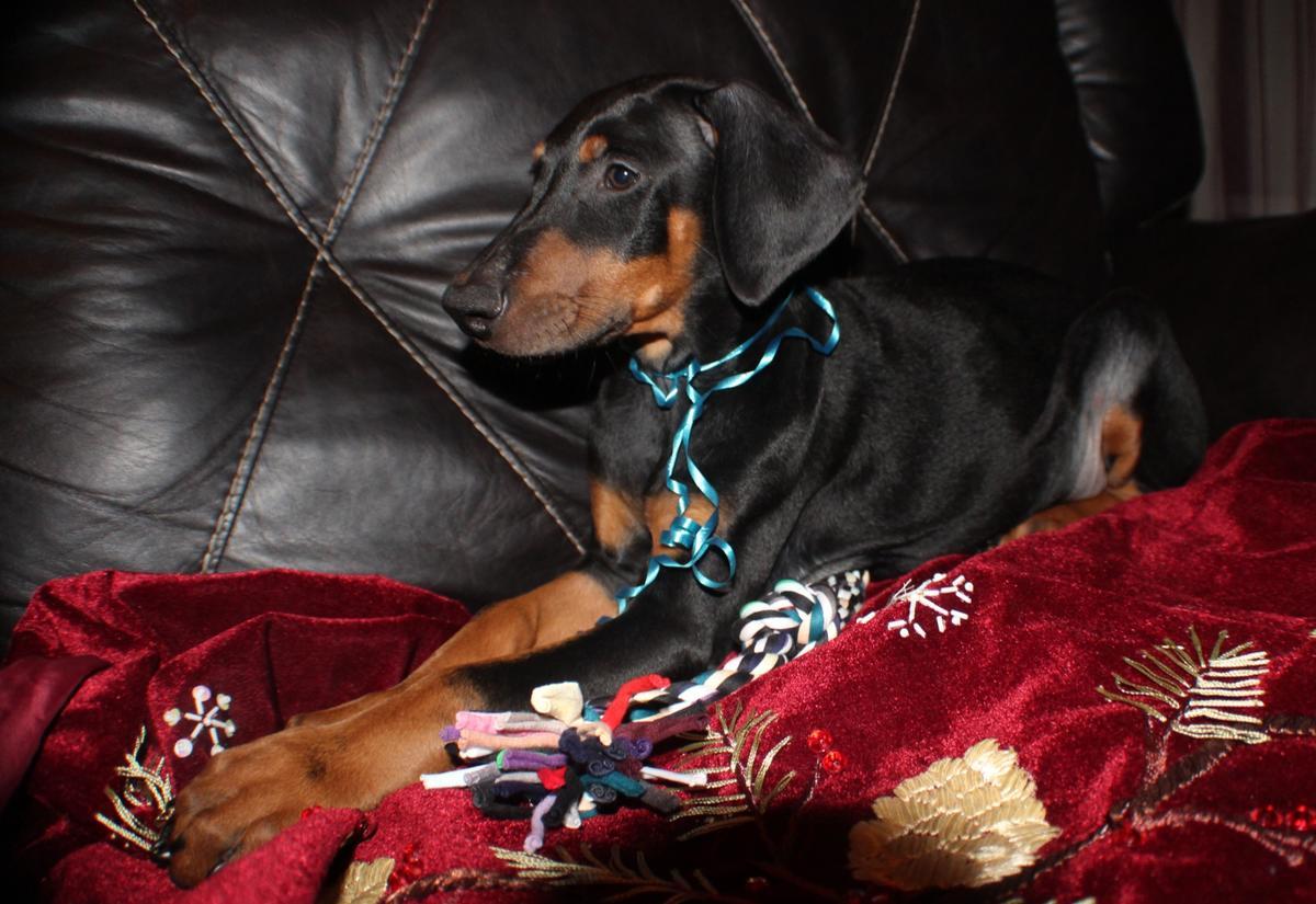 AKC Doberman Pinscher puppies!