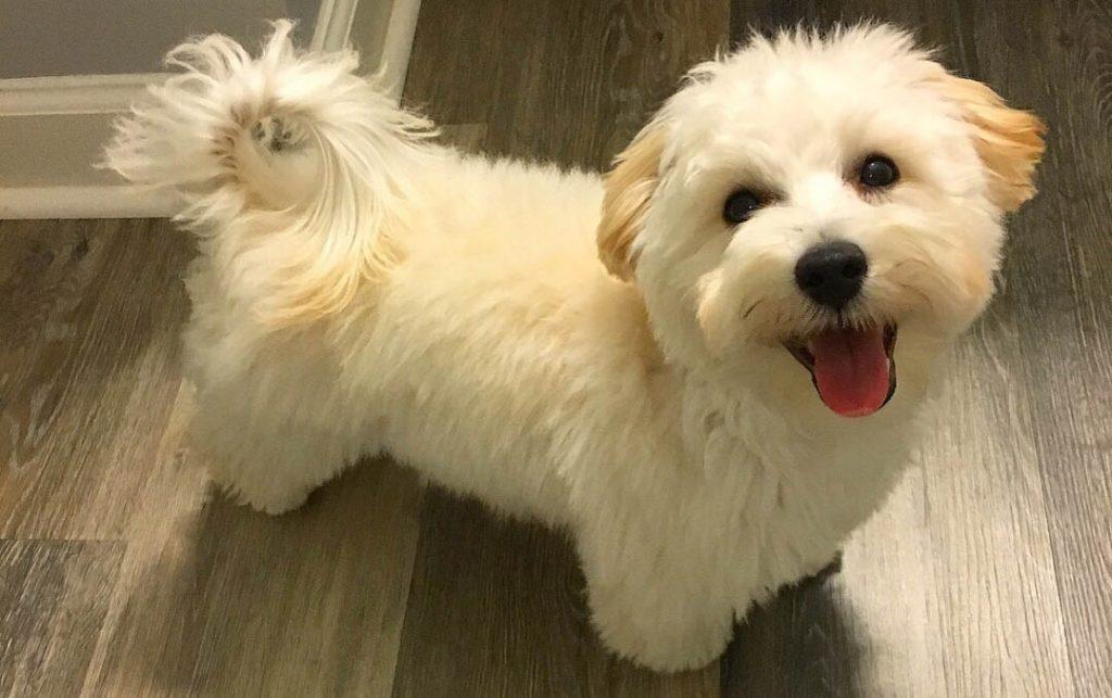 Maltipoo_Dog_-_Poodle_Maltese_Mix_Breed