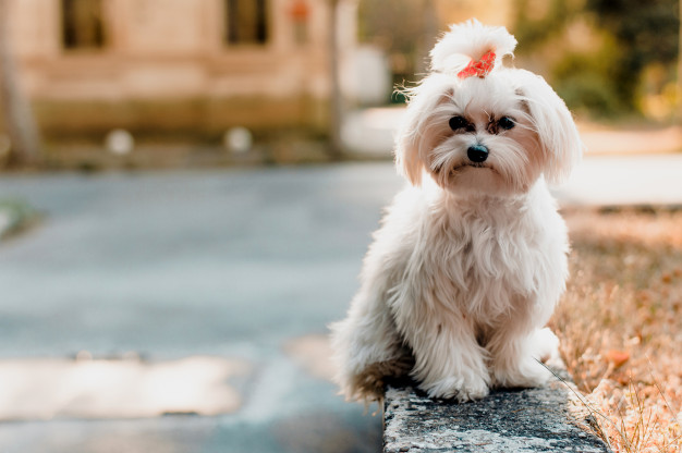 beautiful-young-white-maltese-dog-posing-park