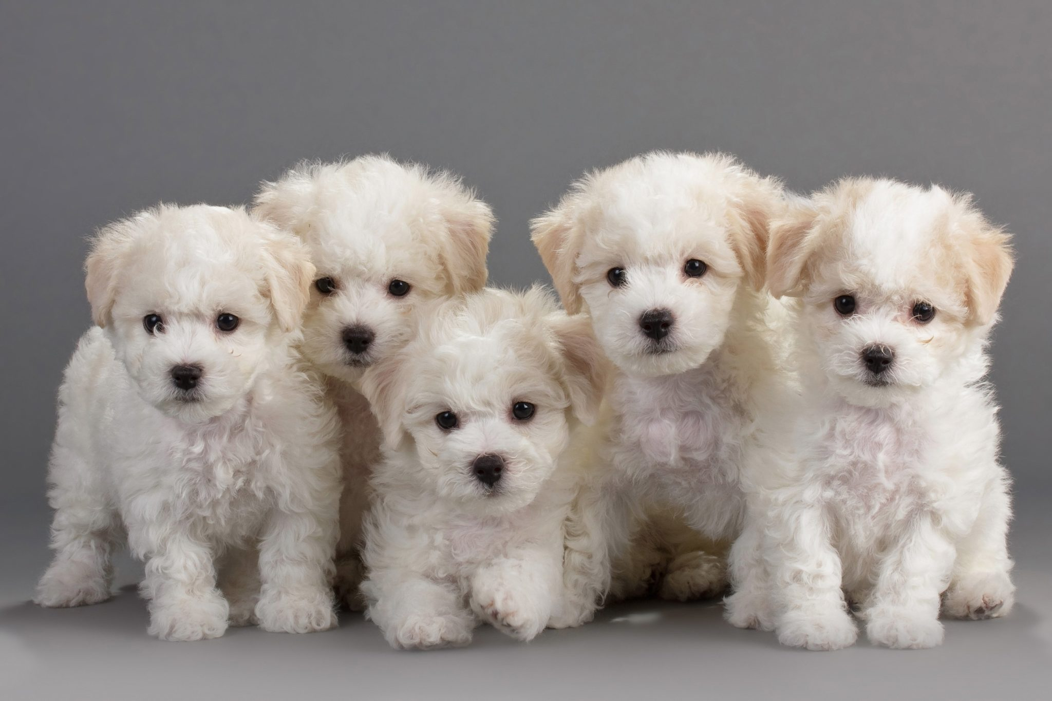 How Much Do Bichon Frise Cost