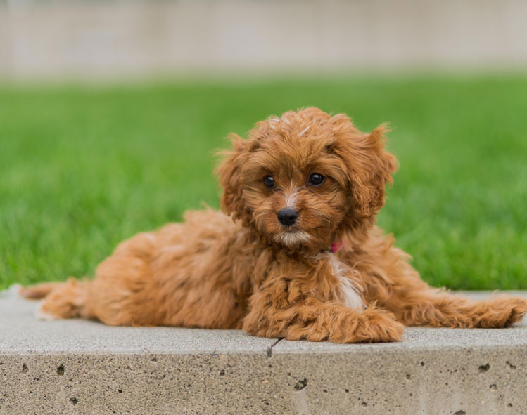 How Much Does A Cavapoo Cost?