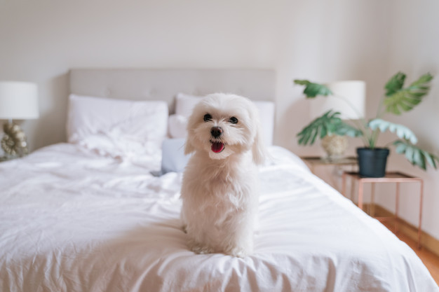 cute-small-maltese-dog-sitting-bed