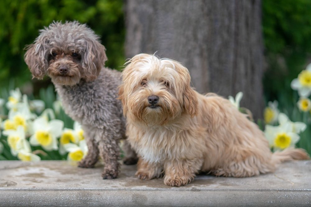 How Much Does A Maltipoo Cost?