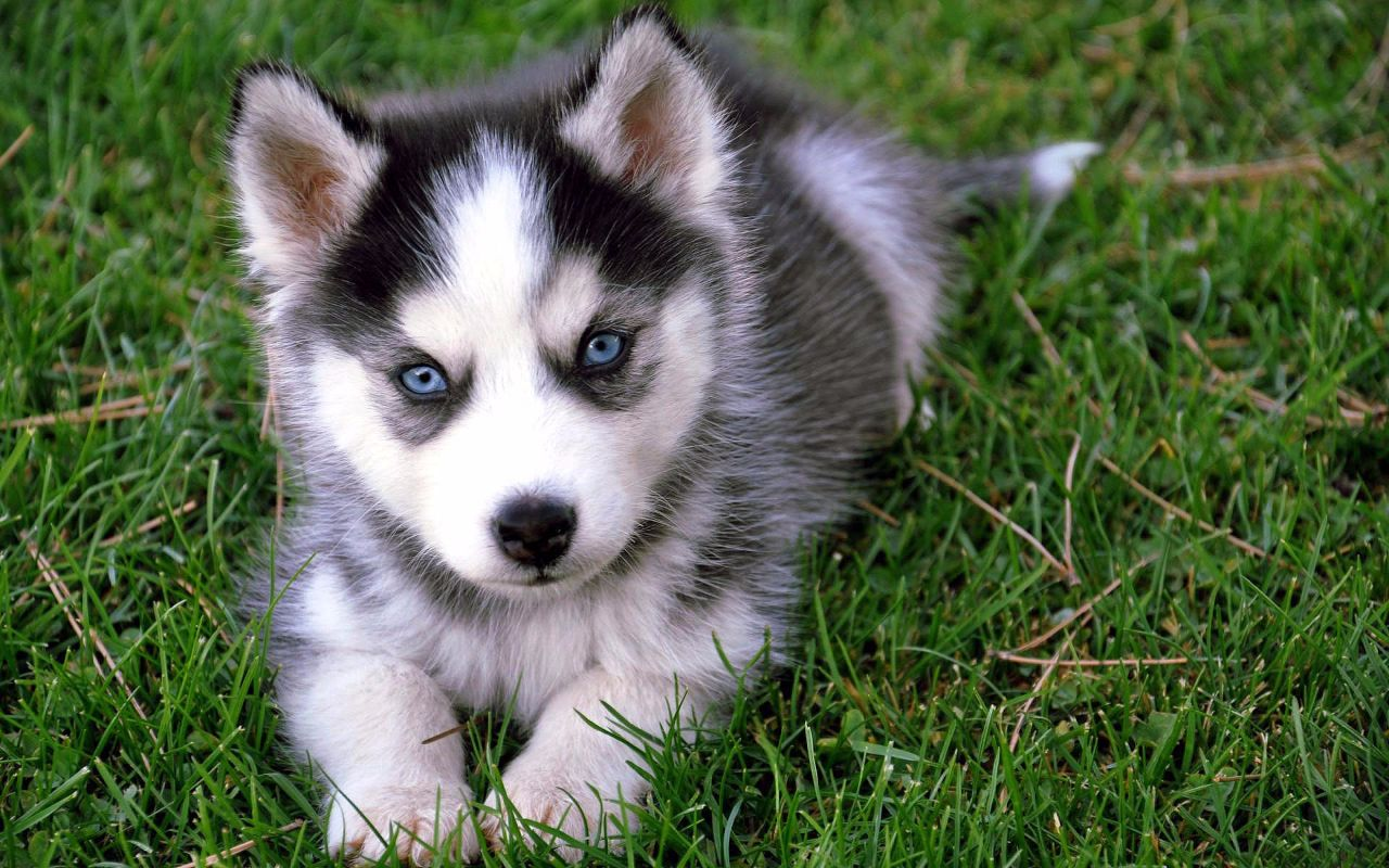 How Much Does A Pomsky Cost?