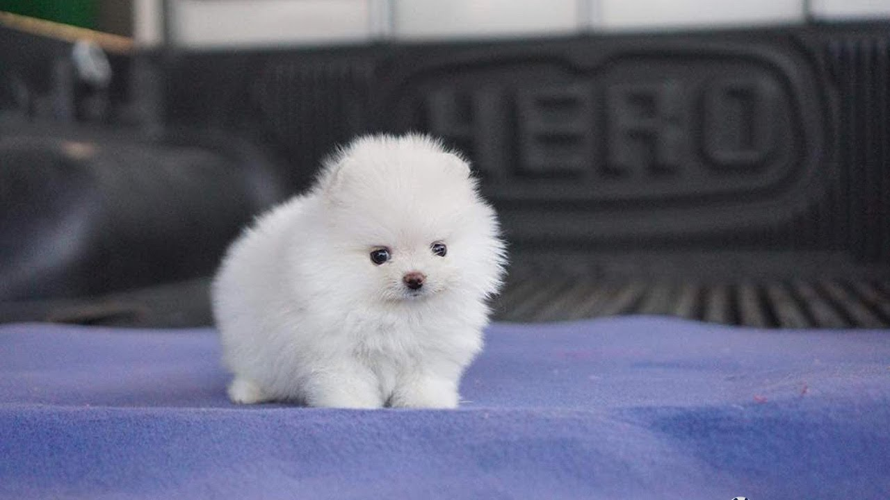 How Much Do Teacup Pomeranians Cost?