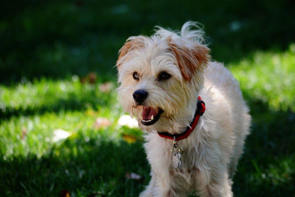yorkie poo dog breed