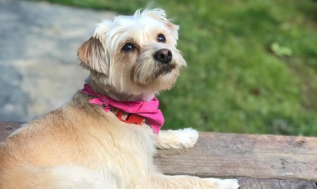 yorkie-poodle-mix-dog