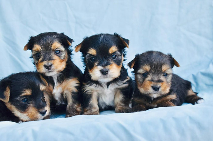 Calculate How Much Do Yorkie Poo Cost