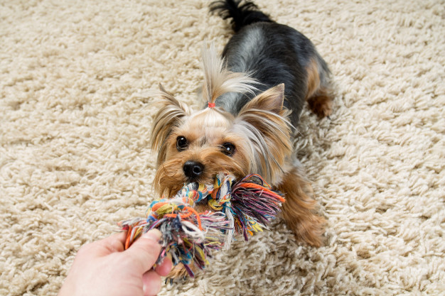 yorkshire-terrier-is-playing-with-toy-carpet