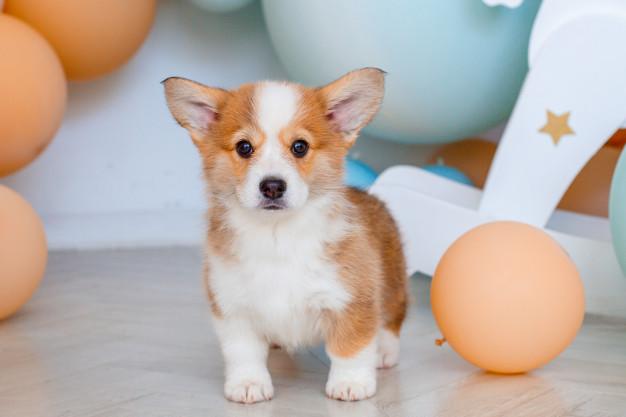 adopt-a-corgi