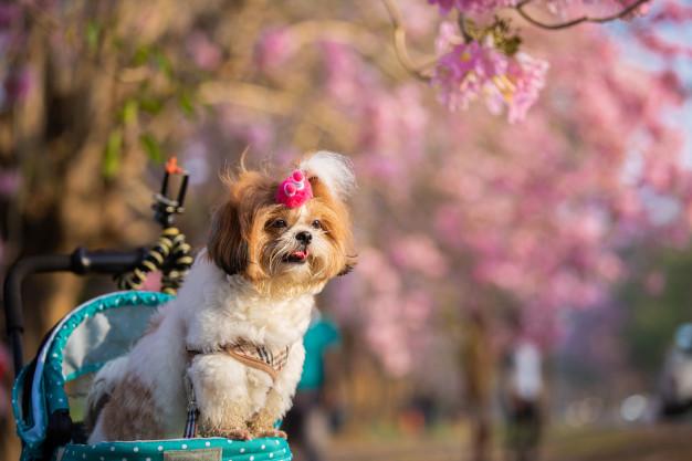 adopt-a-shih-tzu-puppy-2