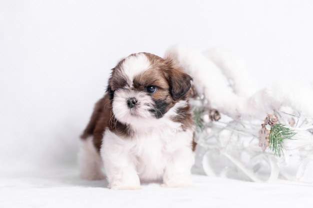 Tips for Adopting a Shih Tzu Puppy