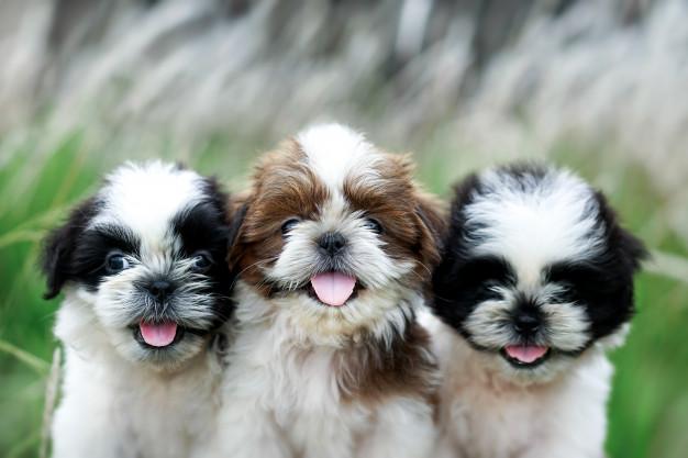 Tips for Adopting a Shih Tzu Puppy