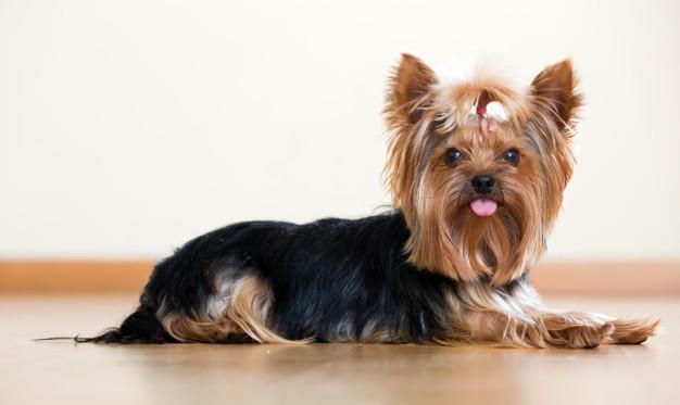 adopting-yorkie-puppy