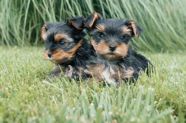 Tips for Adopting a Yorkie Puppy