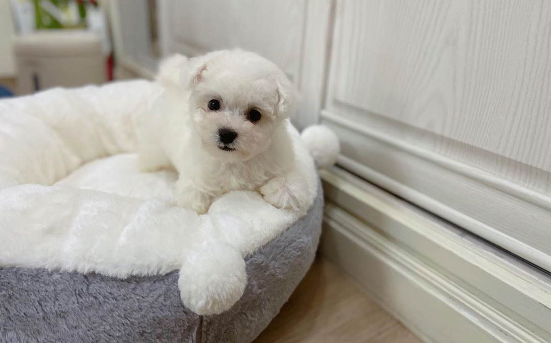 Tips for adopting a Bichon Frise puppy