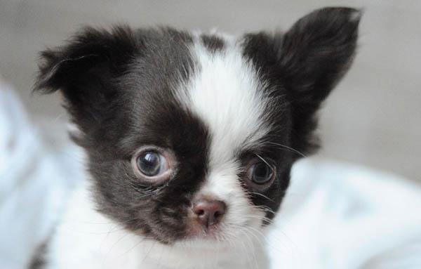 chihuahua-puppy-7
