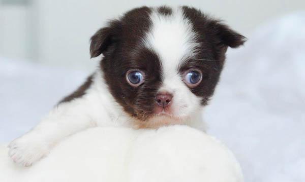 chihuahua-puppy-6