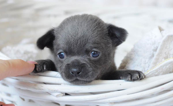 Tips for adopting a Chihuahua puppy