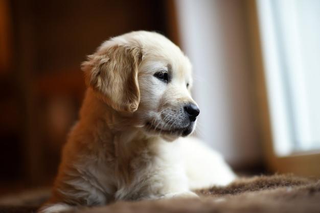 golden-retiever-adopt
