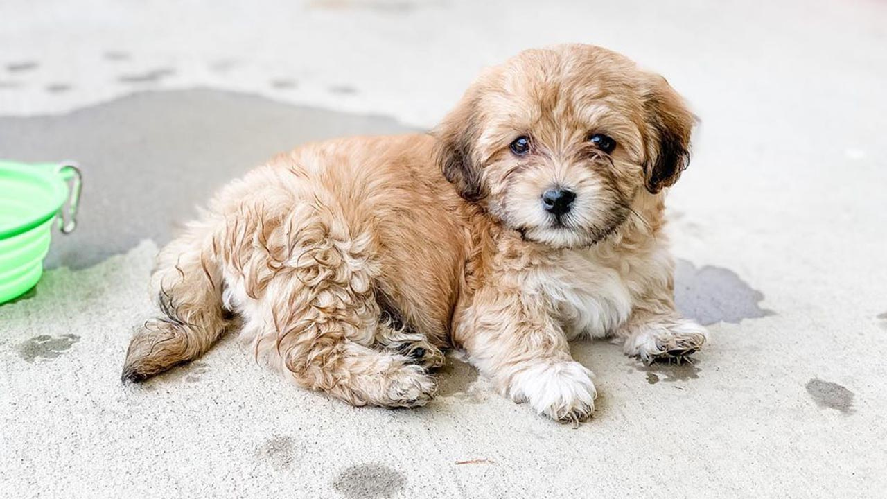 Tips for Adopting a Havanese Puppy