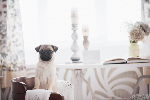how-much-do-pug-price