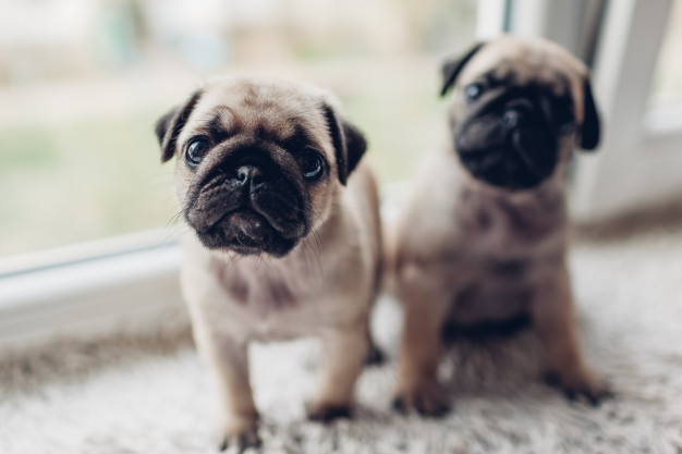 How Much Do Pug Cost?