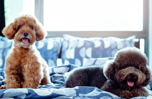 how-much-do-toy-poodle-1