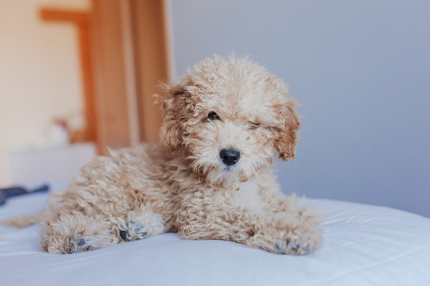 How Much do Toy Poodle Cost?