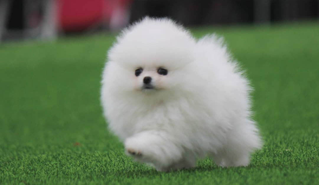 Tips to adopt a Pomeranian puppy