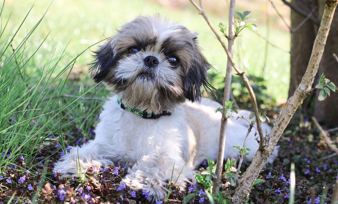 How Much Do Shih Tzu Cost?