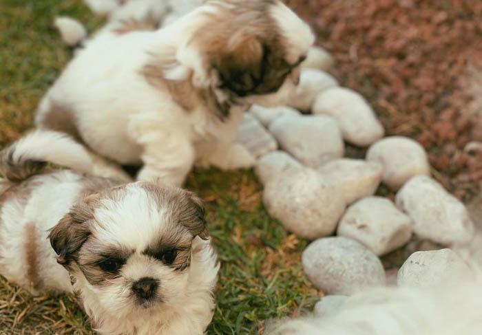 shih-tzu-dogs-