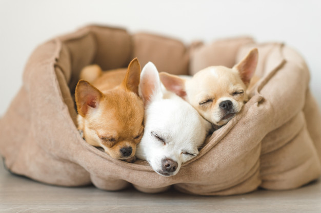 How Much do Chihuahua Puppy Cost?