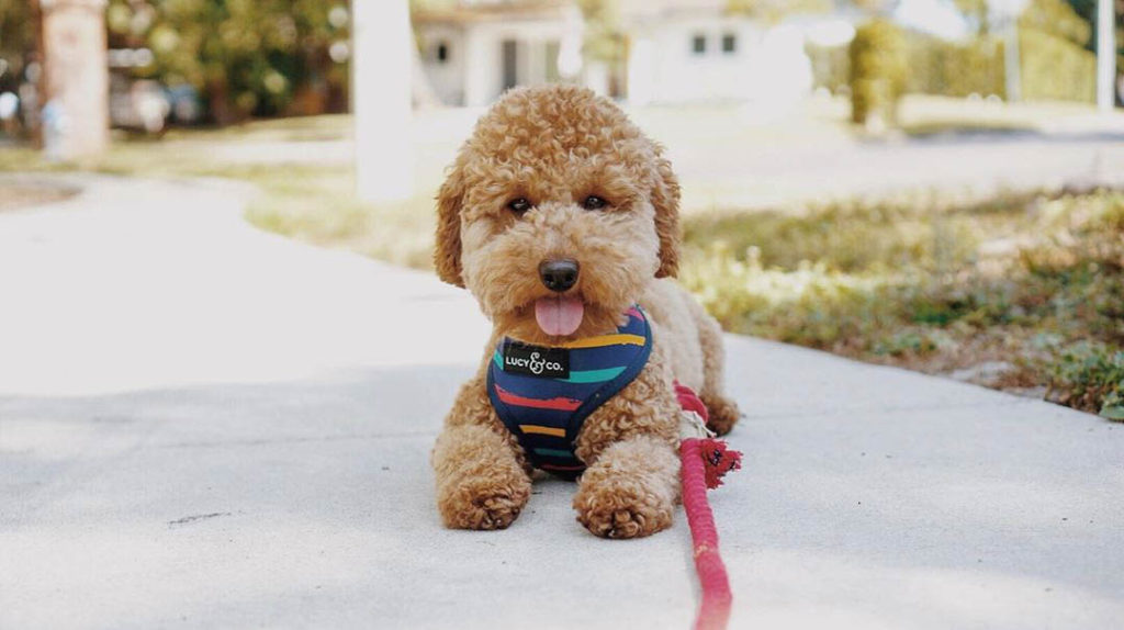 toy-poodle-cost-3