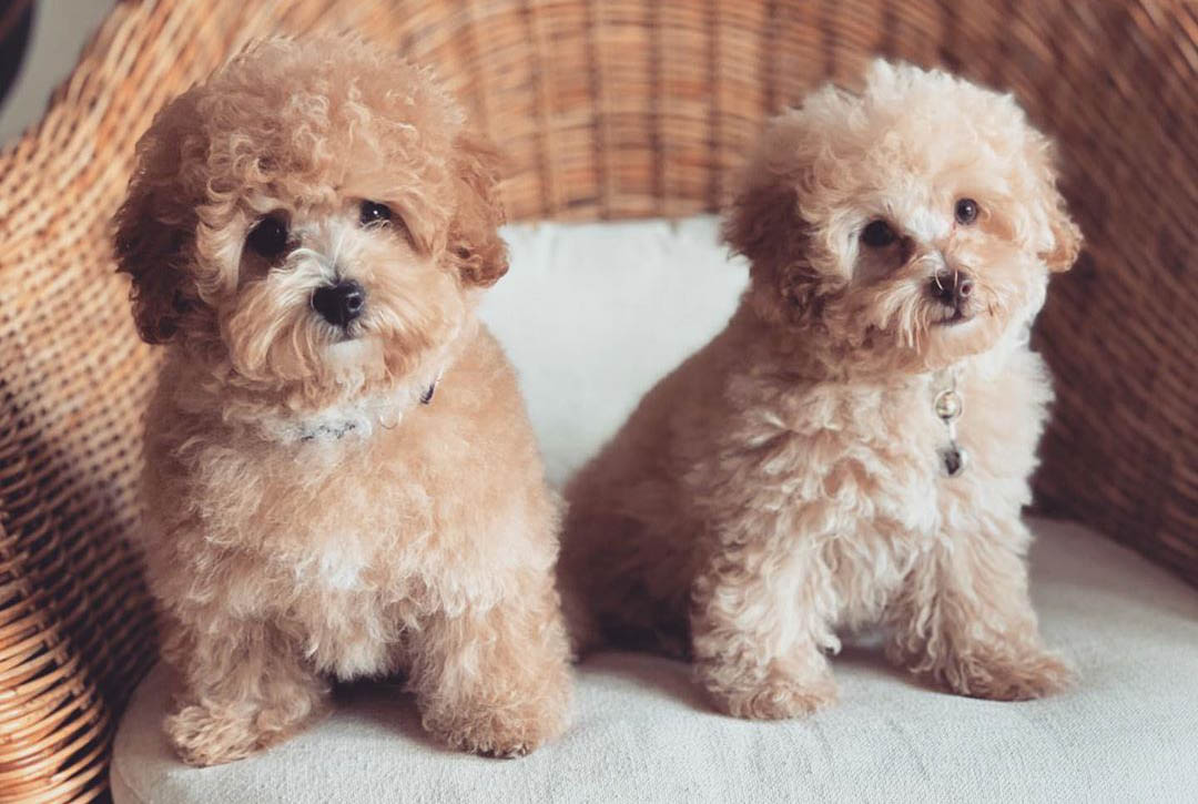 Tips to adopt a toy poodle puppy