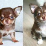 adopt-chihuahua-puppies