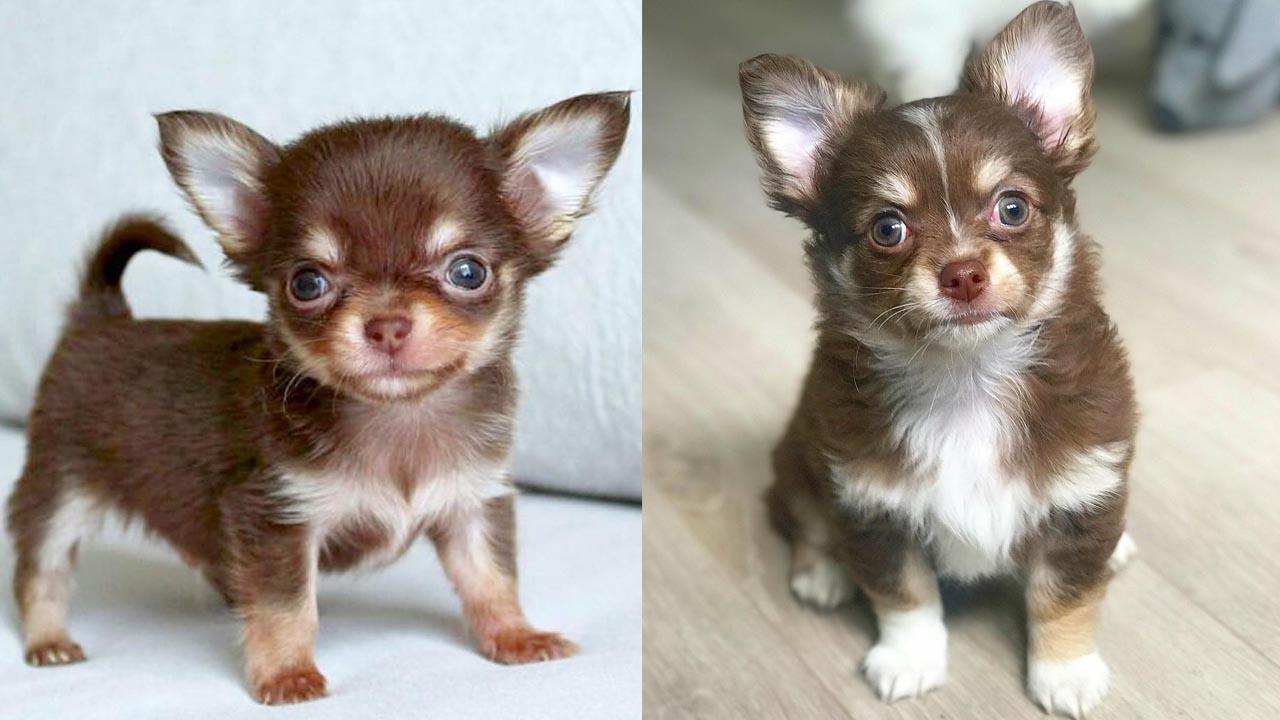 Where to Adopt Chihuahua Puppies
