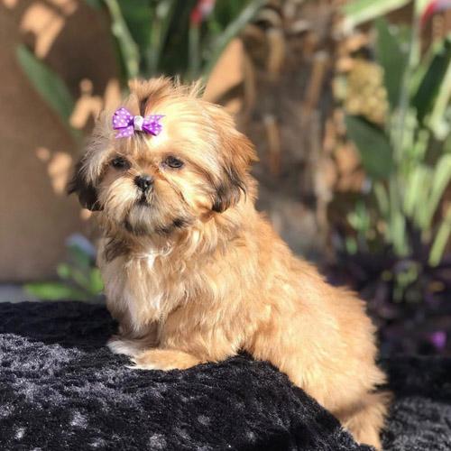 adopt-shih-tzu-puppies