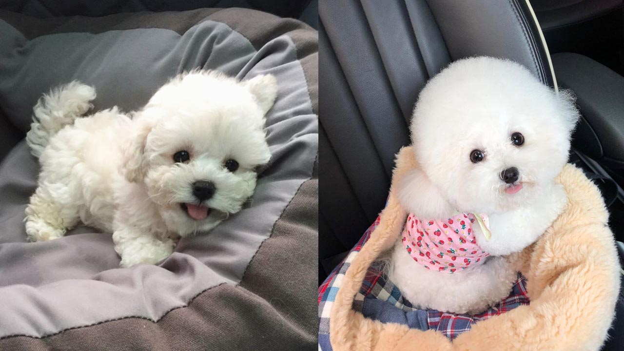 Where To Adopt Bichon Frise Puppies