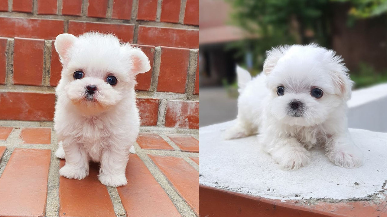 Where To Adopt Maltese Puppies