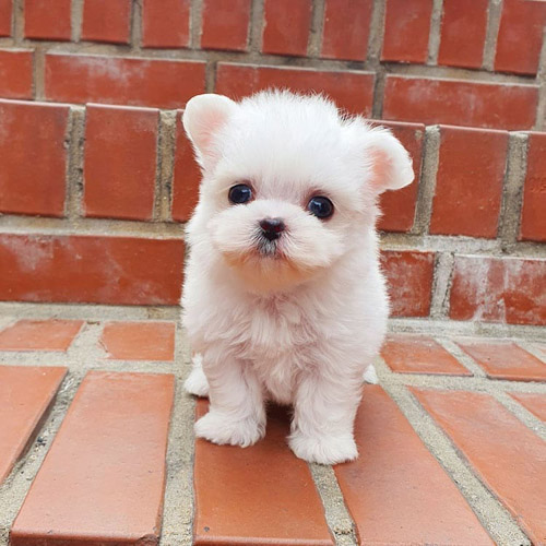where-to-adopt-maltese-puppy