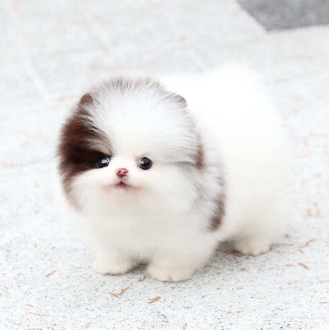 where-to-adopt-pomeranian-puppies