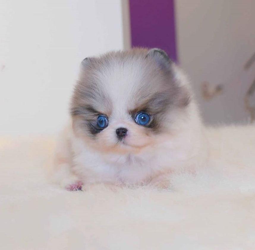 where-to-adopt-pomeranian-puppies