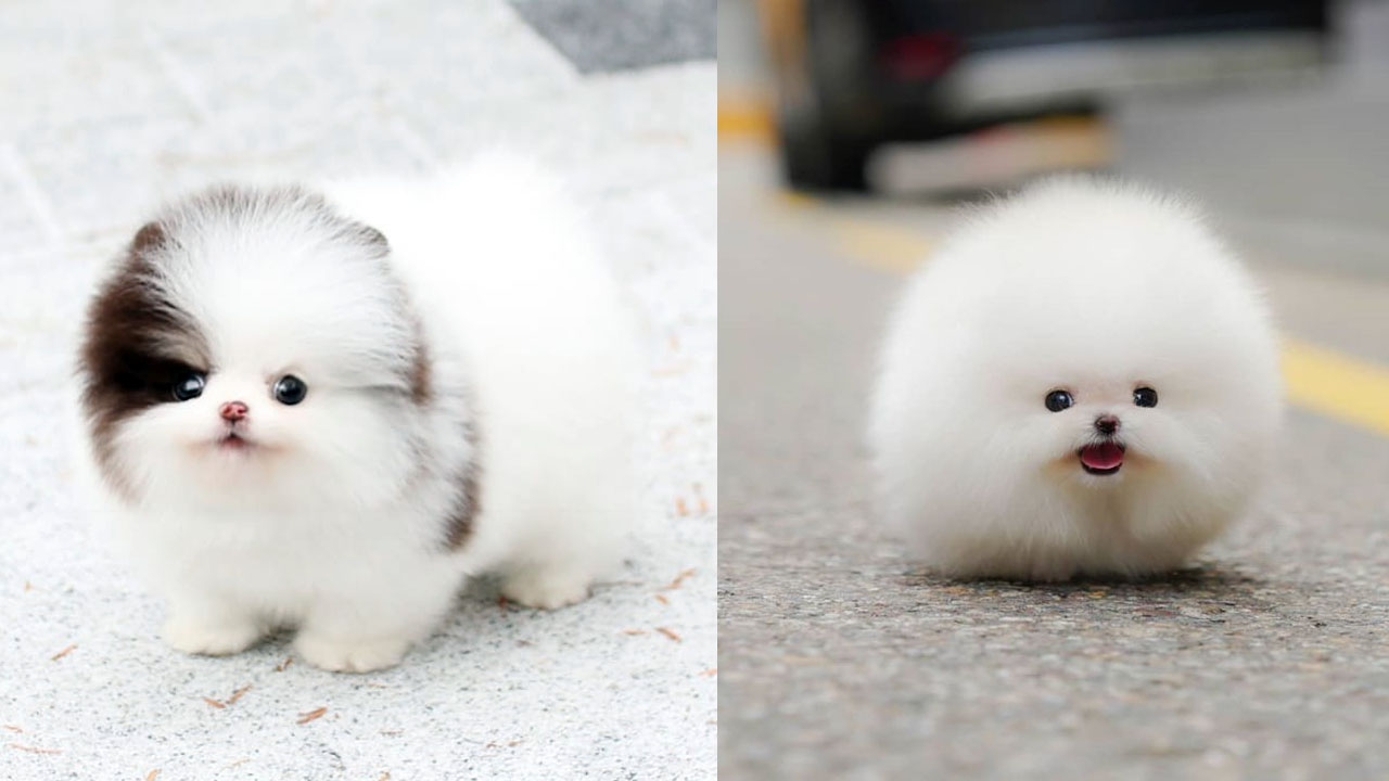 Where to Adopt Pomeranian Puppies