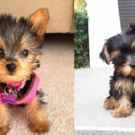 where-to-adopt-yorkie-puppies