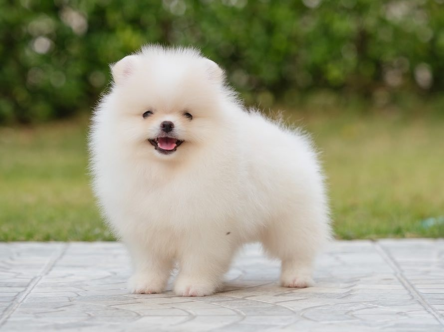 Pomeranian Breeders List