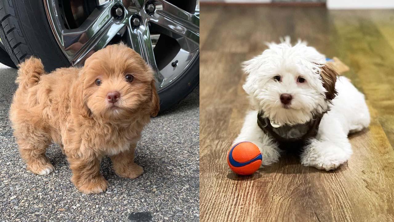 Where to Adopt Shih-Poo Puppies