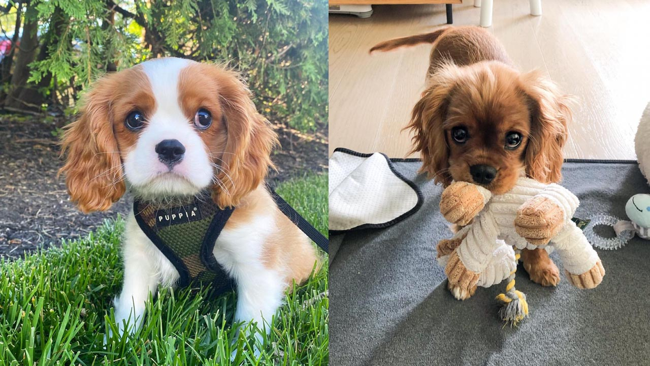 Where to Adopt Cavalier King Charles Spaniel Dogs