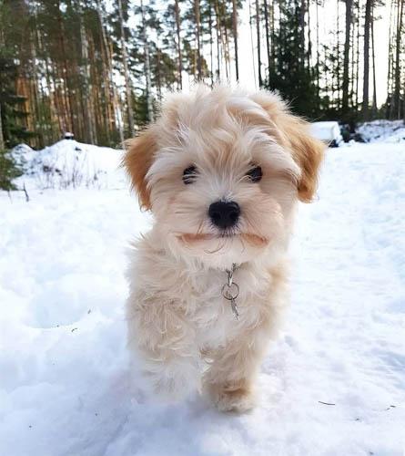 adopt-havanese-dogs